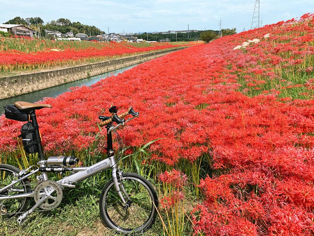 逢妻女川の河川敷にたくさんの彼岸花が咲く風景