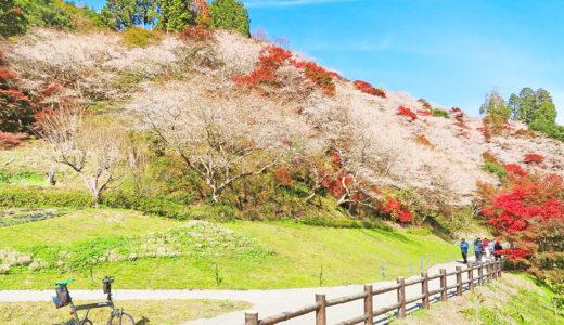 愛知県|秋に桜と紅葉を一度に見られる『川見四季桜の里』