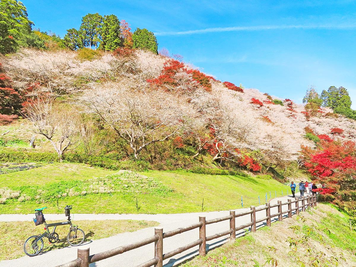 「川見四季桜の里」の桜の花と紅葉が見頃を迎えている風景